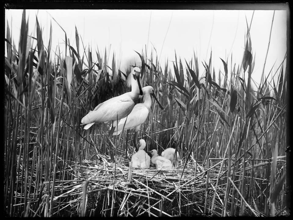 Nest met oude en jonge Lepelaars, Naardermeer, 1905 © Richard Tepe / Nederlands Fotomuseum