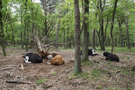 De Koe - Het grazen voorbij